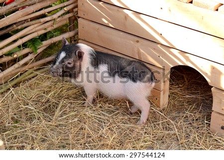 Small funny spotted piglet in the straw near the fence. Selective focus - stock photo