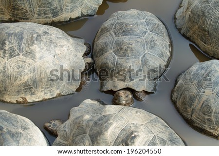 Small Galapagos Tortoises in the water n Isabela island, Ecuador - stock photo