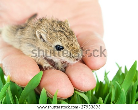 small gerbil on a hand setting free to the nature