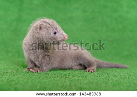 small gray animal mink on a green background - stock photo