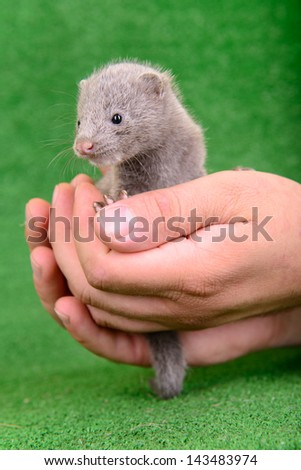 small gray animal mink on a human hand on a green background - stock photo