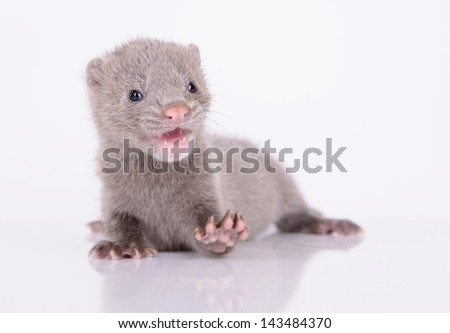 small gray animal mink on white background - stock photo