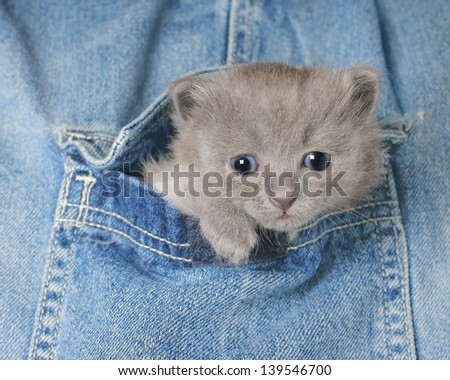 Small gray kitten in Jeans pocket close up.