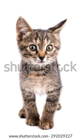 Small gray kitten looking up isolated on white background