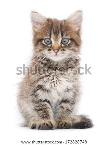 Small gray kitten on a white background