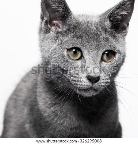 Small gray kitten on white background