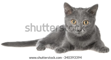 Small gray shorthair kitten lie on a white background. - stock photo