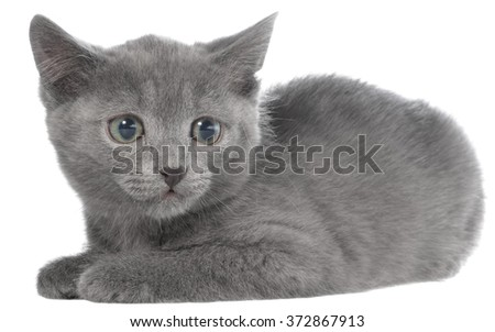 Small gray shorthair kitten lie on a white background.