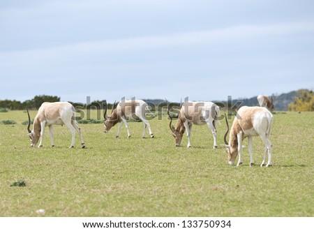 Small grazing herd of Addax antelope at the Fossil Rim Wildlife Center near Glen Rose, Texas - stock photo