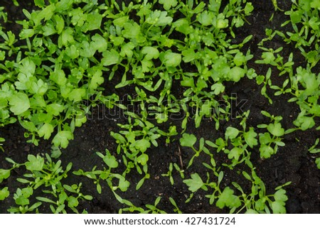 small green and healthy vegetables growing inside of a greenhouse - stock photo