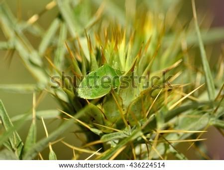 Small green bug on flower head of wild artichoke, Nezara viridula - stock photo