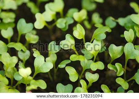 Small green cabbage plant. Agriculture concept.  - stock photo