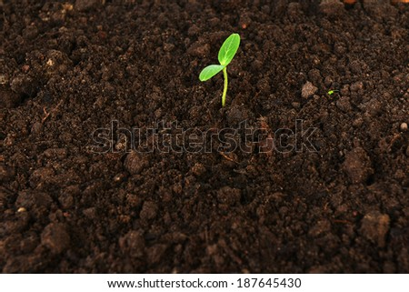 small green cucumber seedling in  growing