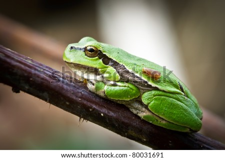 Small green frog on a twig