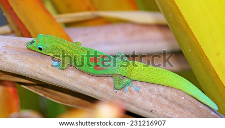 Small green gecko lounges on a leaf in the garden in Hawaii