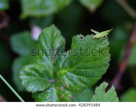 Small green grasshopper on the leaf. - stock photo