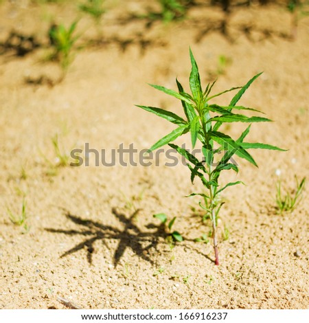 Small green plant on the yellow sand. Warm sunny day, deep shadow.