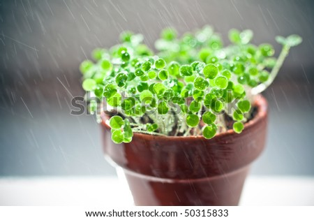small green sprouts in ceramic pot. time of watering - stock photo