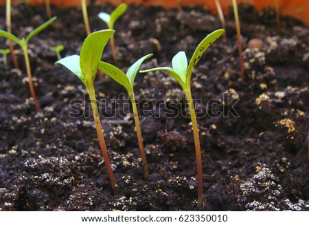 Small green sprouts in the ground