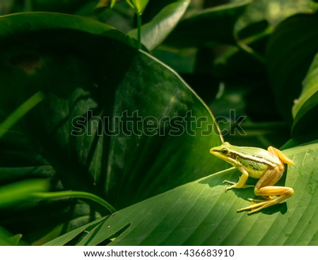 Small green tree frog sitting on the fresh leaves in the rain forest - stock photo