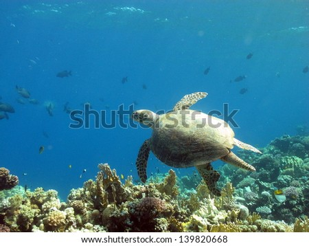Small Green turtle swimming in shallow water in peaceful underwater landscape at the lagoon of Red Sea, Egypt