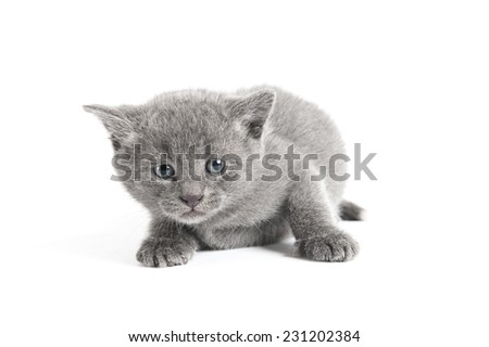 Small grey furry scared kitten on a white background - stock photo