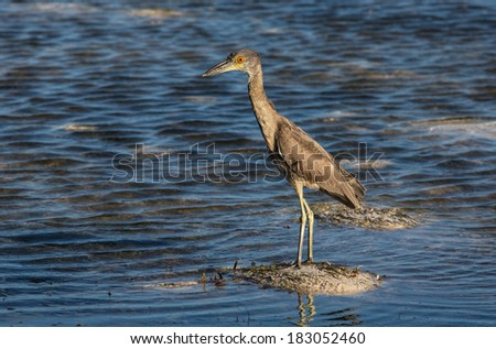 Small grey heron in shallow water - stock photo