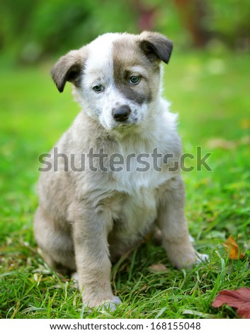 Small grey puppy on the green grass