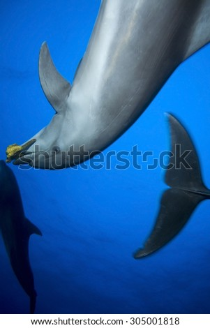 SMALL GROUP OF BOTTLE NOSE DOLPHIN PLAYING WITH SPONGE - stock photo