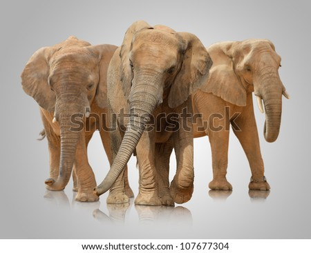 Small Group Of Elephant Walking On White Background - stock photo