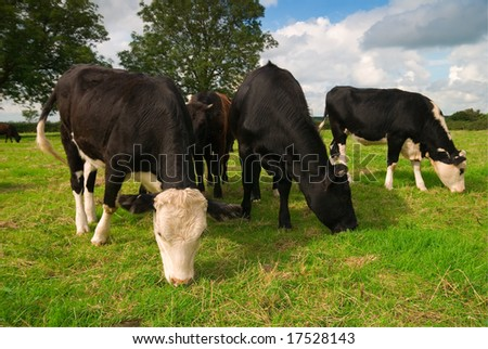 Small group of Friesian dairy cows grazing in a field