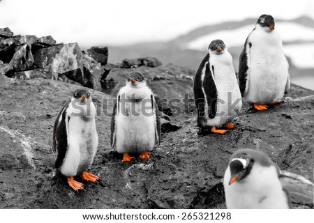 Small group of penguin chicks with red beaks and legs are on the black rock. Antarctica. Vernadsky Research Base. - stock photo