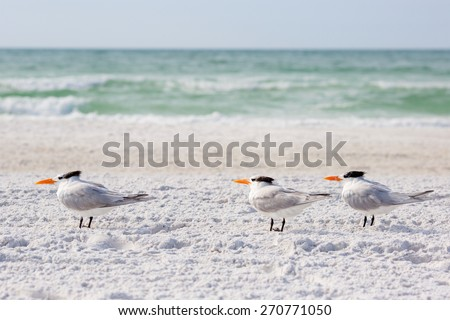 Small group of royal terns sea birds stand on sandy Siesta Key beach in Florida - stock photo