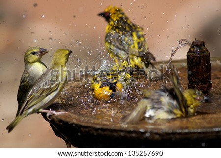 Small group of wild birds splashing in a bird bath spraying water in all directions