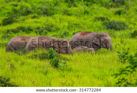 Small group of wild elephants walking in blady grass filed in real nature at Khao Yai  national park,Thailand - stock photo
