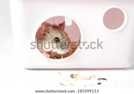Small hamster at home on white background