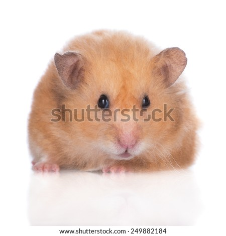small hamster close up portrait - stock photo