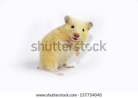 Small hamster cute - stock photo