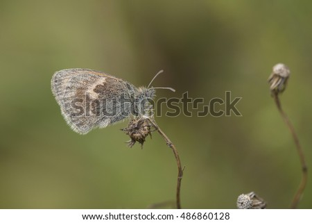 Small Heath (Coenonympha pamphilus) butterfly resting on a withered plant