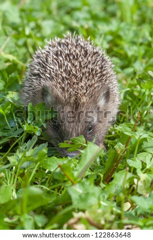 Small hedgehog creeping through a grass