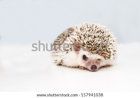 Small hedgehog on white studio background squeezes eye - stock photo