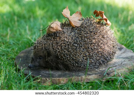 small hedgehog on wooden circle - stock photo