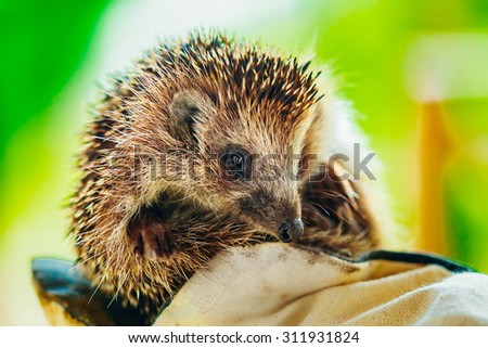 Small Hedgehog Sitting On Hand In Glove - stock photo