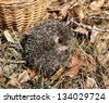 small hedgehog sleeps in dry foliage - stock photo