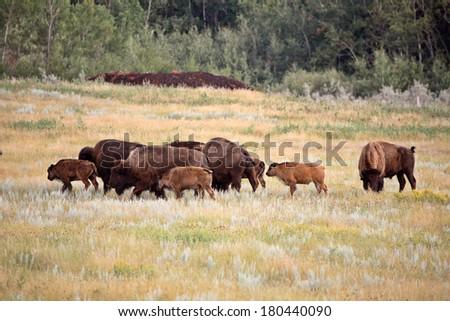Small herd of bison with calves in scenic Saskatchewan - stock photo