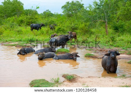 Small herd of wild buffalo resting in water - stock photo