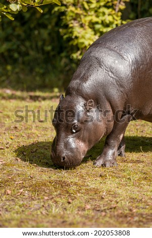 Small hippopotamus looking for food - stock photo