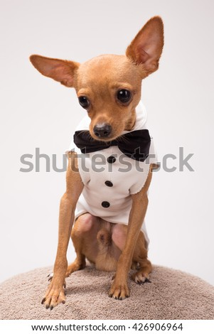small house dog breed Chihuahua