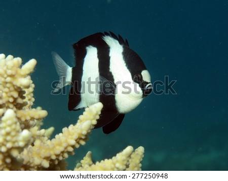 Small humbug dascyllus damselfish over coral - stock photo