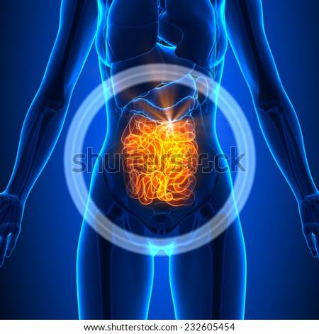 Small Intestine - Female Organs - Human Anatomy - stock photo